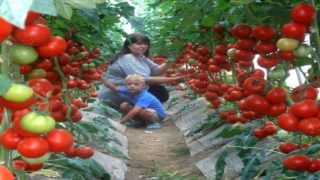 Прекрасна рецепта за домати: ефикасно подхранване! Сподели с приятели рецептата!