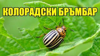 Градинар: Метод срещу Колорадският бръмбар