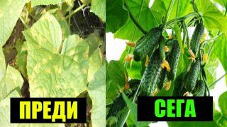 Градинар: Без повече жълти листа по краставиците