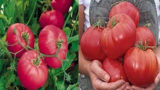 Градинарски съвети при отглеждането на домати