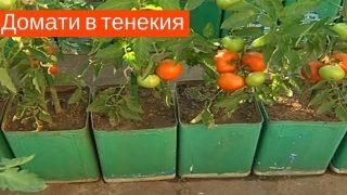 Градинар: Екологично чисти домати в тенекия