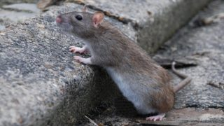 Махнете мишките и плъховете от дома си!