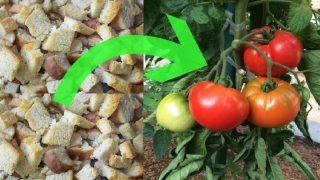 Градинар: Подхранете доматите със сухари