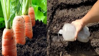Рецепта за богата реколта от моркови