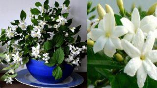 Ползите от цвете Жасмин в дома ви са толкова много! Вижте ги сами