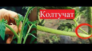 Градинар споделя защо Колтучи доматите си! Вижте