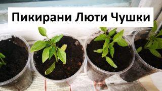 Информация за Пикирани Люти Чушки от Градинар
