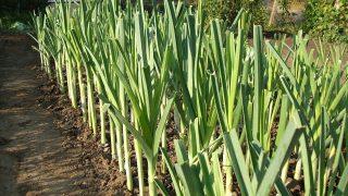 Градинар споделя съвети за Отглеждане на Праз Лук
