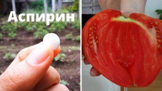 Градинарски трикове с Аспирин в градината помагат за богата и здрава реколта от Домати