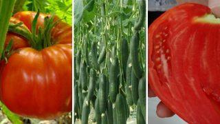 Градинар споделя Тайната си за Богата реколта от Домати и Краставици