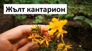 Градинар споделя информация за Жълтия кантарион