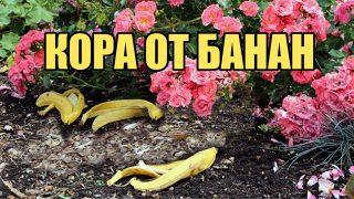 Разберете повече за използването на кората от банан в градината и за стайните растения