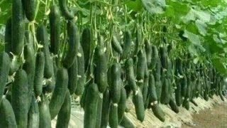 Ето как да поливаме краставиците и доматите за да се радваме на голяма реколта