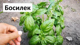 Градинар споделя как се отглежда и сади Босилек