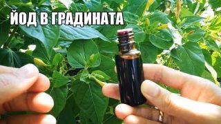 Знаете ли, че можете да използвате Йод в градината си? Ето вижте как се прилага