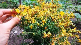 Вижте малко извесните ползи на Жълтия кантарион