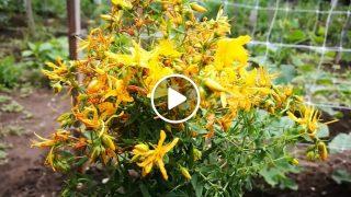 Градинар споделя ползи за билката Жълт кантарион