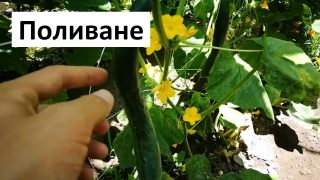 Градинар споделя как полива краставиците и доматите