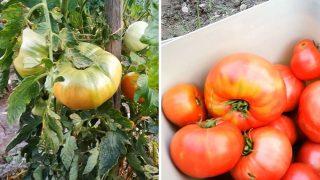 Ето каква реколта от Домати има тази година градинаря Владислав Андреев