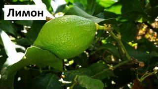 Отглеждане на Лимони в саксия