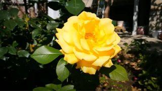 Преместване на стара Роза или Размножаване на Роза – Този видеоклип показва много лесен метод!