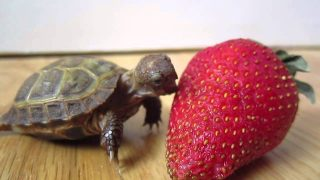 Вижте как костенурка яде ягода ( Видео )