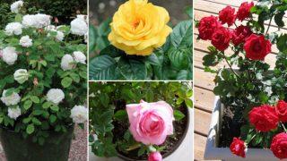 Градинар показва лесен метод за засаждане на Роза. Метода е добър за различни видове Рози!