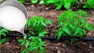 Чуйте градинар с какво пръска свойте домати! Без химия!