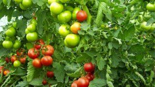 Съвети за ранни домати отглеждани както едно време!