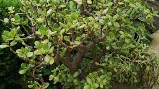 Градинар споделя как отглежда Дървото на живота