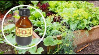 Една капка йод и няма да познаете градината си! Срещу фитофтора, брашнеста мана и вредители